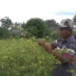 Tanaman Cabai di Jombang Rusak Diserang Hama Saat Harganya Naik
