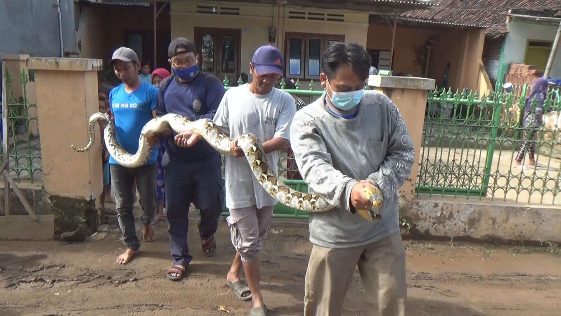 Heboh, Ular Sanca 4 Meter Berkeliaran di Halaman Rumah Warga Jombang