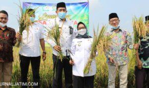 Bupati Jombang Apresiasi Petani Panen Raya Padi Organik di Banjarsari