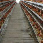 Kabupaten Bojonegoro Kembangkan Kawasan Peternak Ayam Ras Petelur