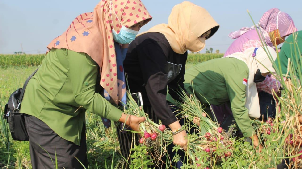 Anggota DPR Ning Ema Panen Bawang Merah di Jatigedong Jombang