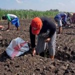 Petani di Kota Kediri Sekolah Lapang Tanam Bawang Merah